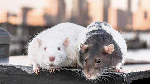 Ratten lassen eine halbe Tonne Marihuana von Polizeiwache verschwinden