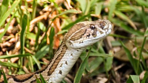 Extrem tödlich: Zweiköpfige Schlange in Indien entdeckt