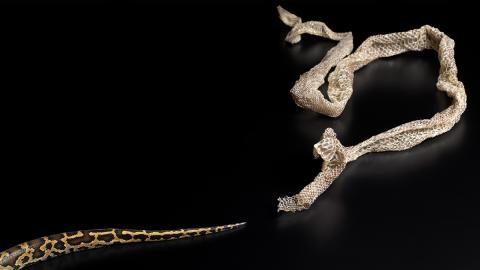 Schlange stellt sich beim Häuten besonders ungeschickt an, was folgt ist schmerzlich! (Video)