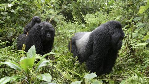 So witzig reagieren Gorillas, die vom Regen überrascht werden