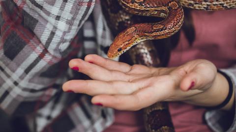 1,20-Meter-Schlange aus Rachen von Frau gezogen: Ist das Ekel-Video fake?