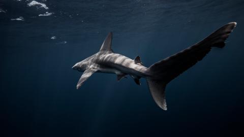 Furchteinflößender Fund im Mittelmeer: Forscher finden Hai mit zwei Köpfen