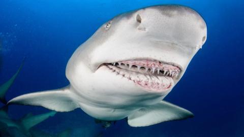 Hai verschluckt seine Beute, doch das bereut er ganz schnell