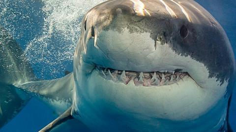 Unama'ki: Folgt einem der größten Weißen Haie mit einem Tracker!