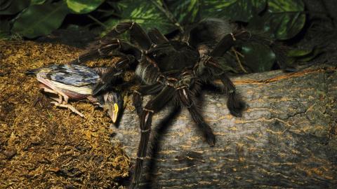 Größte Spinne der Welt überrascht Forscher mitten im Urwald