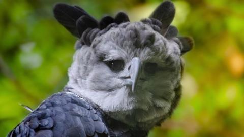 Harpyie: Einer der größten Raubvögel der Welt droht auszusterben