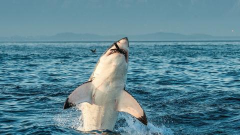 Unglaublicher Stunt: Weißer Hai springt in Südafrika 4 Meter hoch