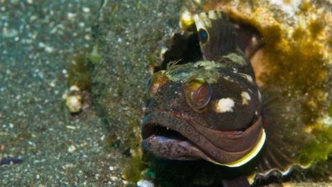 Forscher filmen seltenen Fisch: Als er das Maul aufreißt, trauen sie ihren Augen nicht