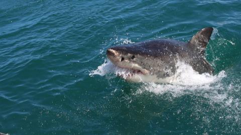 Urlauber bekommen es mit der Angst zu tun, als Riesenhai Kreuzfahrtschiff umkreist