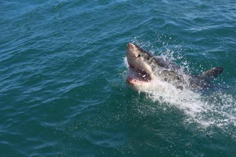 Australien: Taucher entkommt 30-minütigem Hai-Angriff (Video)