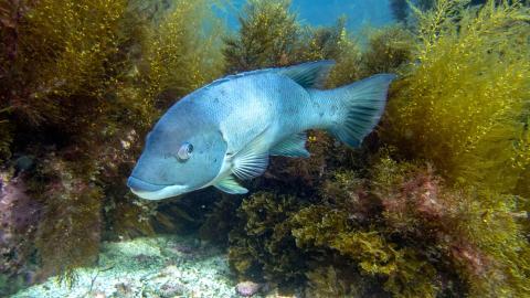 Dieser Fisch mit menschenähnlichen Zähnen verblüfft das Internet