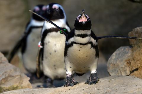 Bienenschwarm tötet 63 bedrohte Pinguine in Südafrika