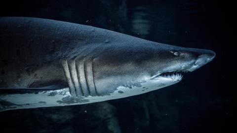 Australien: Ein Arzt hat eine Technik gefunden, um einen Haibiss zu überleben