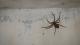 Wenn ihr seht, was diese monströse Spinne hinter sich herzieht, werdet ihr es nicht glauben!
