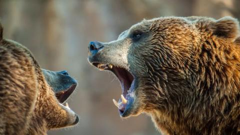 Beeindruckend: Zwei Braunbären liefern sich Kampf an russisch-chinesischer Grenze